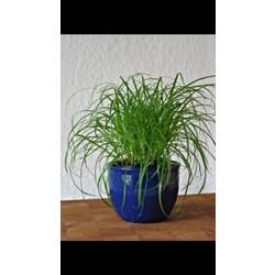 katzengras cyperus zumula 4011261013087 codecheck info. Black Bedroom Furniture Sets. Home Design Ideas